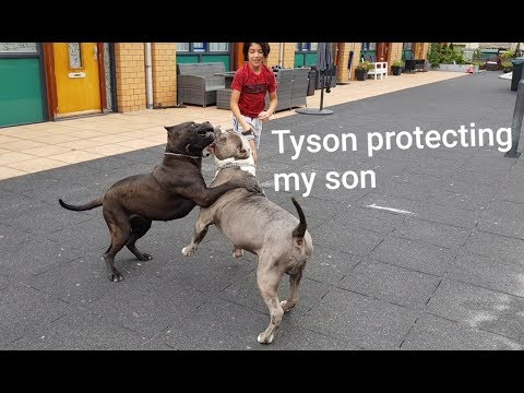 My son Sergen introducing The dogs on his way the Bully Pitbulls