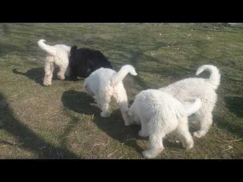 Komondor @ Puli puppies in Somogyi Betyár Kennel