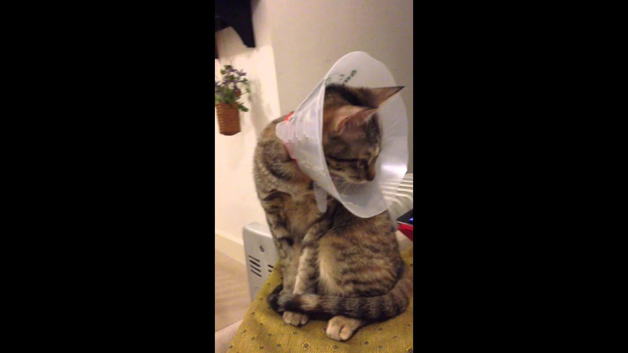 Youtube Cat Eye Tutorial: Cat Reacts To Herself Cookie The Cat Mewing Without Reason