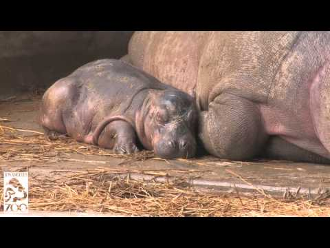 Hippo Baby Born On Halloween at the L.A. Zoo