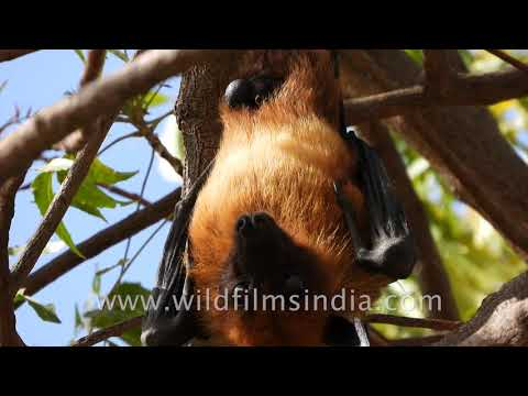 Fruit bat hangs