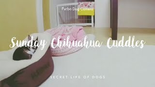 Sunday Chihuahua Cuddles | Furbo Dog Camera
