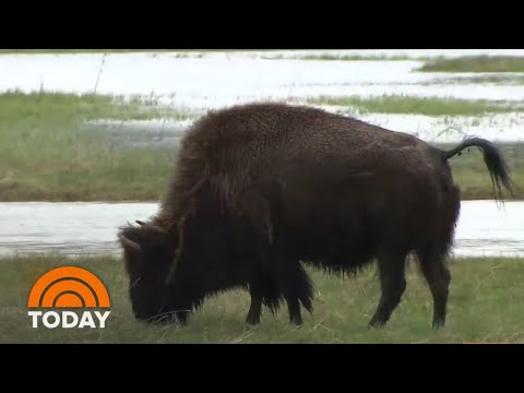 9-Year-Old Survives Bison Attack At Yellowstone | TODAY