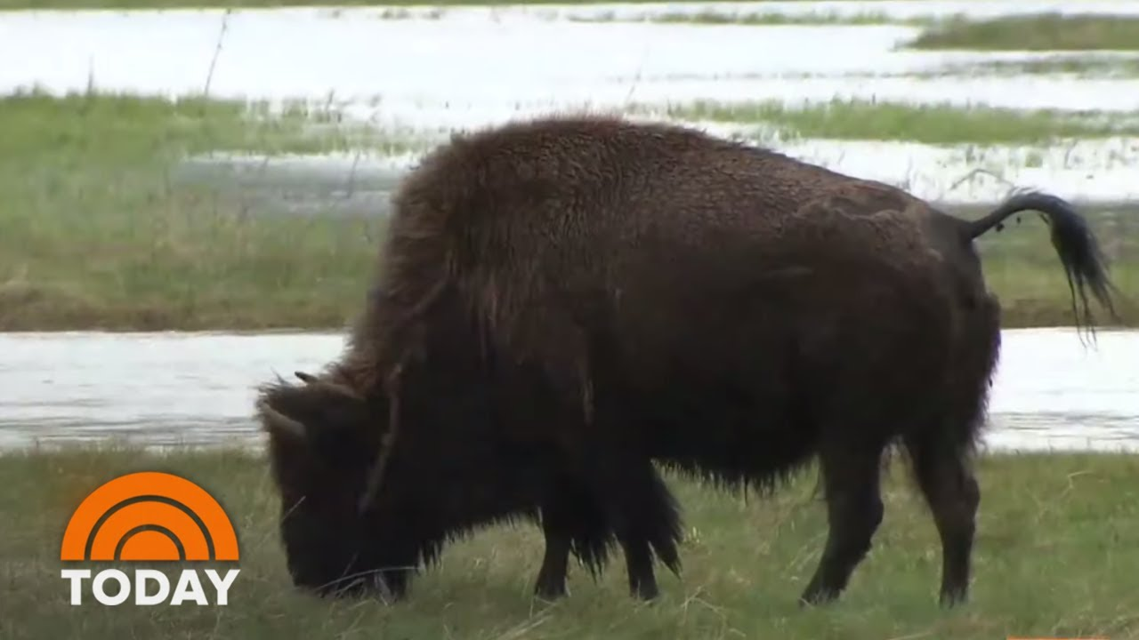 Reporter fleeing Yellowstone bison is the social-distancing meme ...