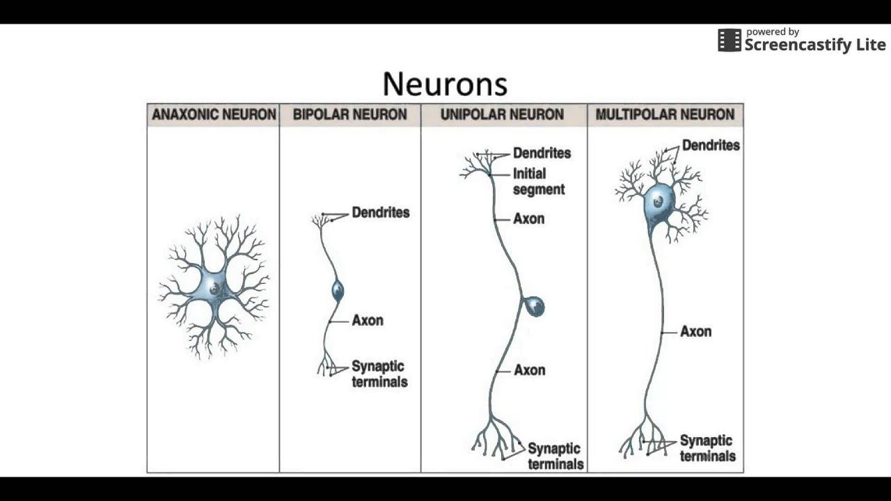 Neuron and Neuroglia Anatomy - YouTube