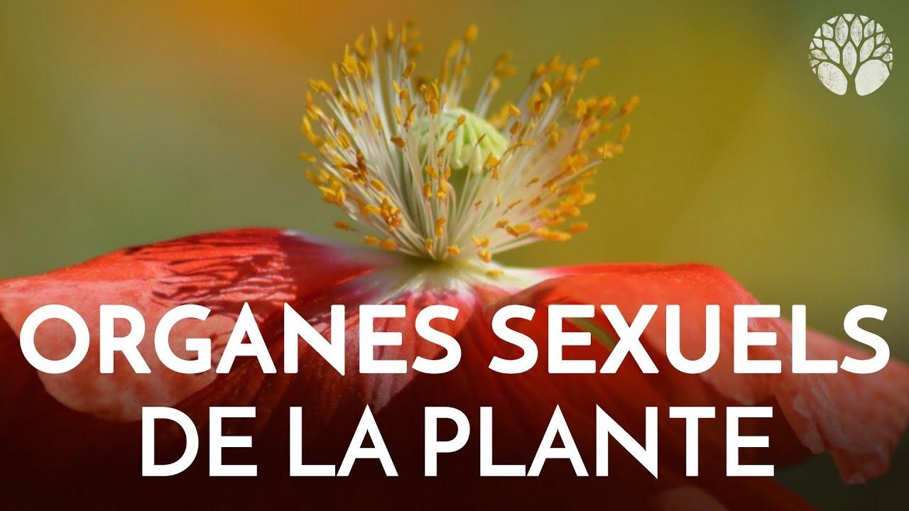 Botanique - Organes sexuels de la plante
