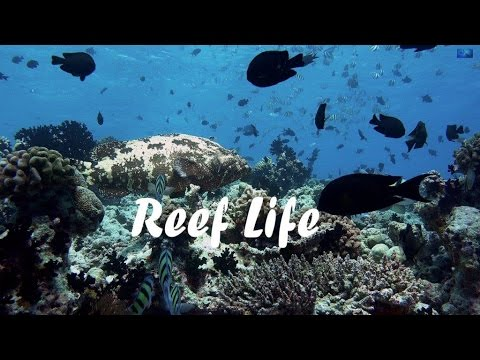 Reef Life of the Maldives in 4K