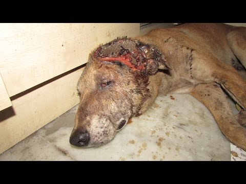 Incredible recovery of alarmingly injured dog found waiting to die