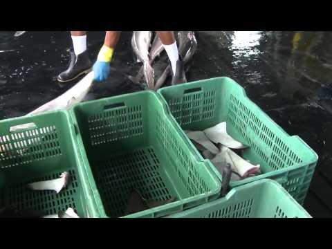 Shark Finning Cruelty