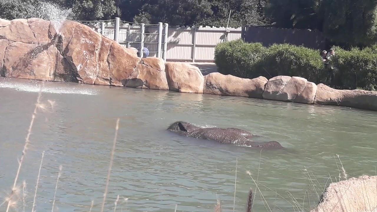 פיל מתקלח , סאן דייגו zoo