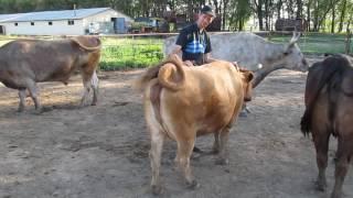Коровы! Животные миролюбивые! Самые счастливые коровы!Не рожая дают молоко!
