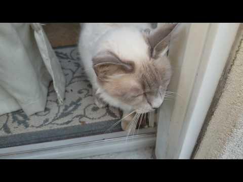 Spoiled Siamese cat