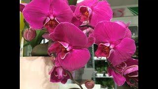видео Купить орхидею в горшке