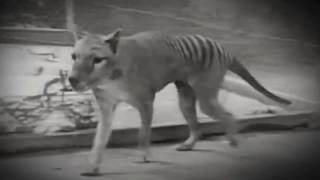 Тилацин: История вымирания сумчатого волка