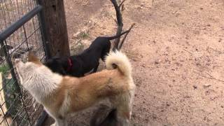 "This is a video update of our new Tosa Inu (土佐犬) puppy ""Sakura"" ..."
