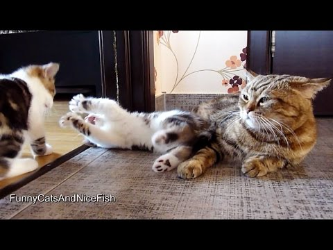 Cute Kittens playing While Mom cat is napping