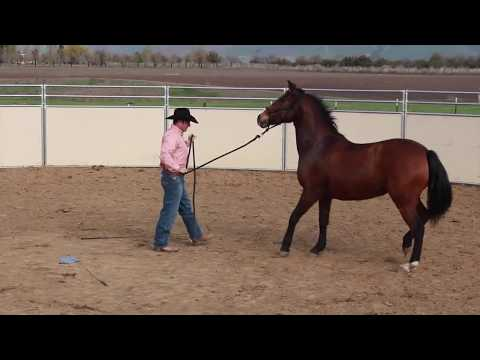 Fixing a horse that stops and rears while being lunged 1