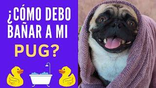 ✅CONSEJOS para bañar a tu  perro Pug 2021