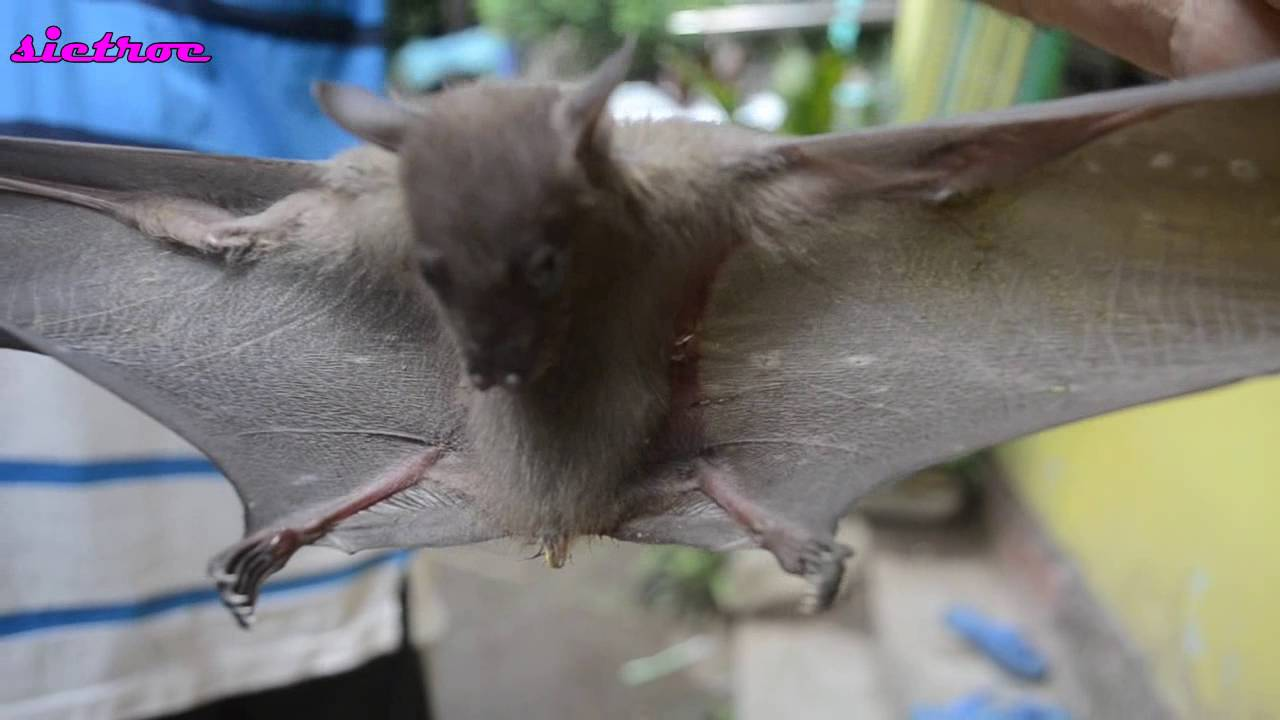 Java Bat Species - YouTube