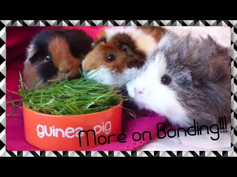 The Trio is Back Together! Plus More Advice on Bonding Guinea Pigs | Squeak Dreams