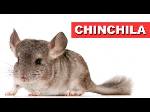 Chinchila - Quatro Patas