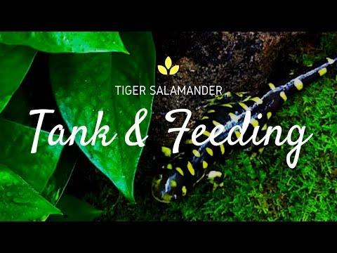 Tiger Salamander Tank & Feeding