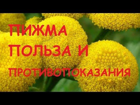 Пижма: лечебные свойства, инструкция по применению цветков