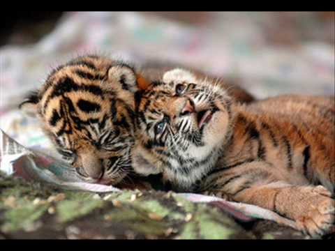 Help end the poaching of tigers!!!