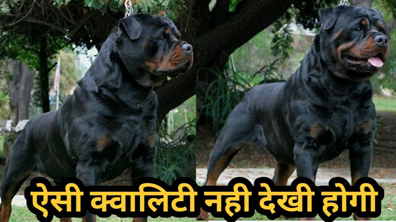 Rottweiler Stud For sale | High quality Rottweiler Dog For Sale| Rottweiler puppy for sale