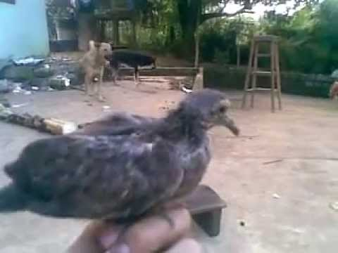 hội những người nuôi chim cu gáy