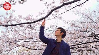 sakura japanese cherry blossoms at maizuru park(舞鶴公園)