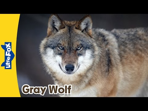 Meet the Animals 6: Gray Wolf | Level 2 | By Little Fox