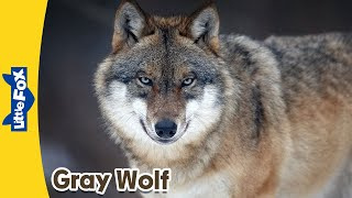 Meet the Animals 6: Gray Wolf | Animated Stories by Little Fox