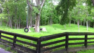 Our livestock guardian dog, Anna, the Great Pyrenees and the goats in the afternoon