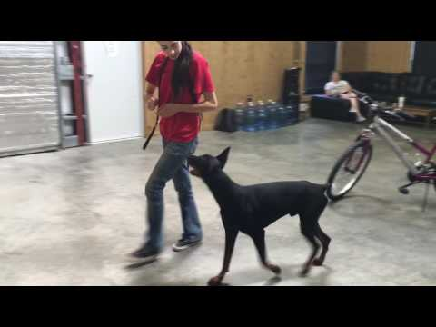 Super Doberman 'Judge' 1 Yr Obedience Fun Happy Powerhouse Protection Dog For Sale