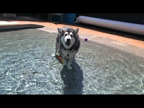 Siberian Husky Mia talks back to me in swimming pool about underwater rocket