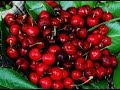 The Therapeutic Qualities of Cherries based on Ayurvedic Principles