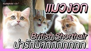 รับลูกสาวคนใหม่ แมว British Shorthair | The PETTO EP.63