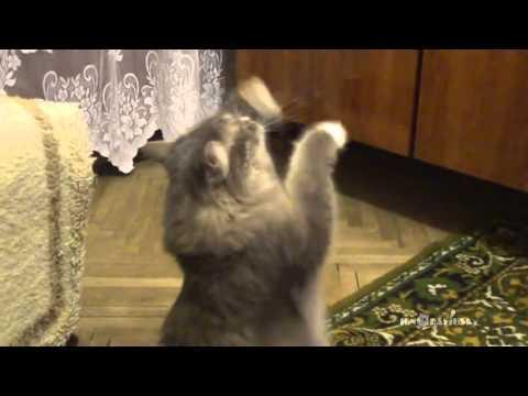 Thumbnail for Cat Video Dancing cat / Танцующий кот