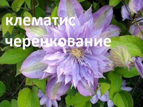 Клематисы.  Черенкование клематисов весной