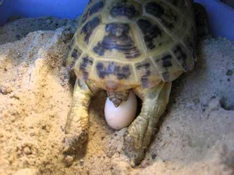 Роды (кладка яиц) среднеазиатской черепахи ;)