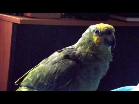 Hormonal Amazon Parrot