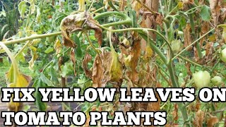 Tomato plant leaves turning yellow and dying