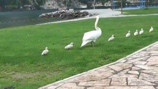 swan attack schwan attackiert атака лебедей