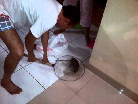 Cara Menangkap Tikus Besar Yang Masuk Ke Dalam Rumah
