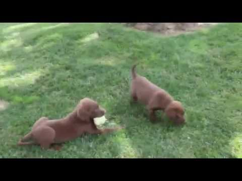 Chesapeake Bay Retriever Puppies For Sale