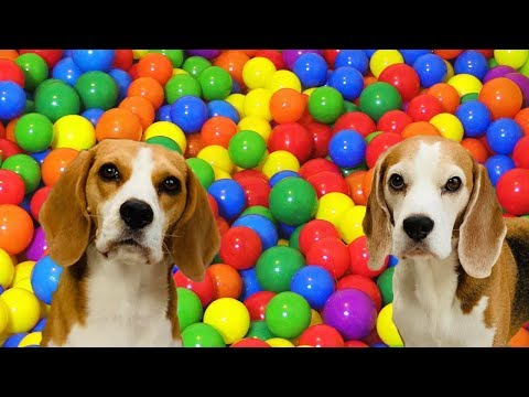 Cute Dogs Vs GIANT Ball Pit : Funny Dogs Louie and Marie