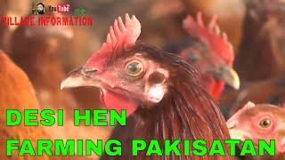 Desi Murgi Poultry Farm Hen Farming Desi Hen Farming in Pakistan Golden Misri Farming in Pakistan 
