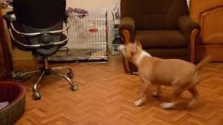 Американский стаффордширский терьер,щенок ( 5 месяцев)