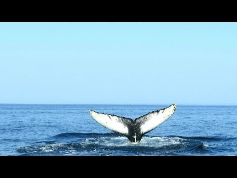 Humpback Whale diving in the Gulf of Saint Lawrence